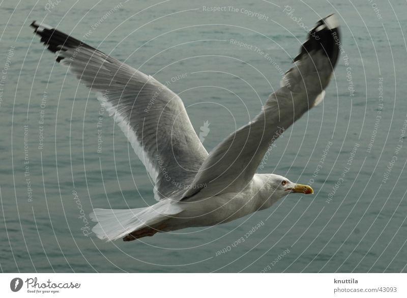 Ocean Gray Lake Bird Flying Wing Seagull Beak
