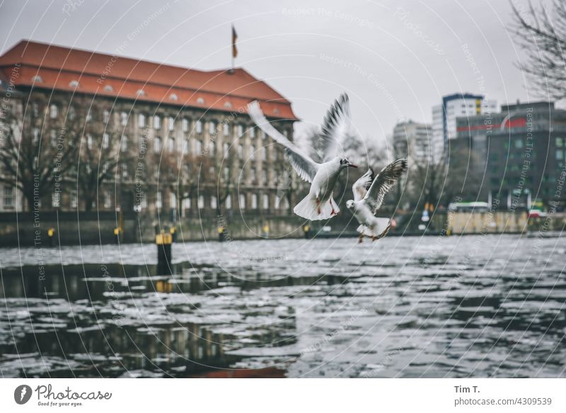 Two seagulls in winter over the Spree Seagull Winter Bird Cold Exterior shot Colour photo Deserted Water Day Animal Group of animals Copy Space top