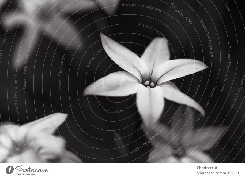 Flowers in black and white Blossom flowers Delicate Black & white photo black-and-white Nature Plant Blossoming Close-up Shallow depth of field Exterior shot