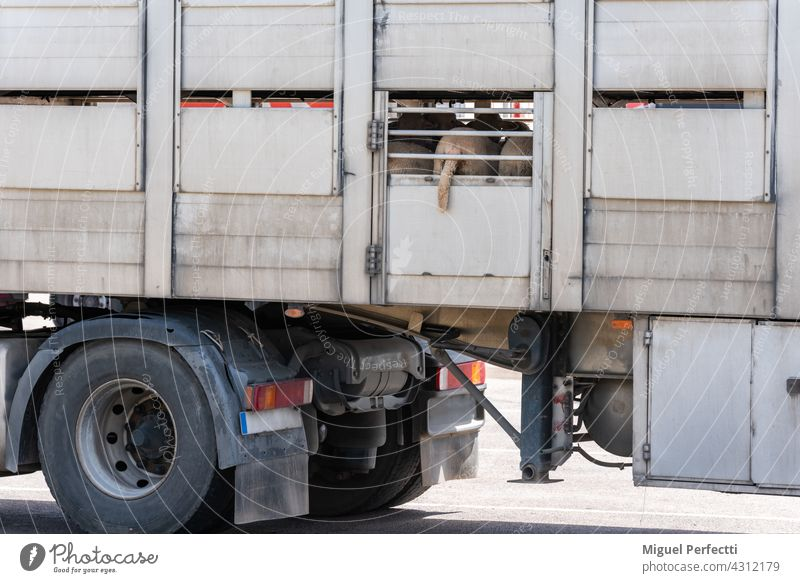 Truck loaded with sheep, with a sheep's tail sticking out of the aeration window. oveja camion ganado Transportar Entrega Matadero Rumiante Logistics jaula