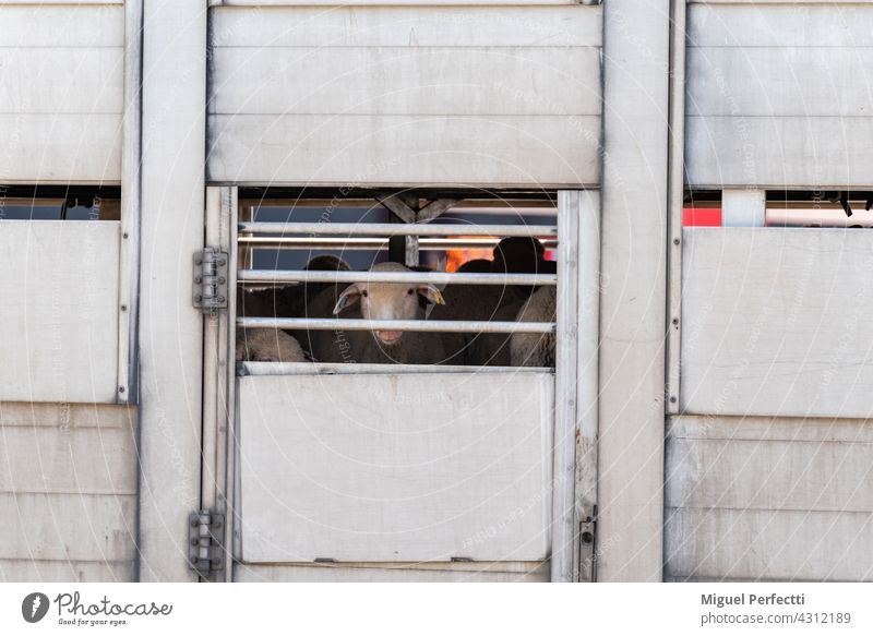 Livestock truck with sheep poking out of the vents. Sheep cattle cage transport Slaughterhouse Animal Window Herbivore Eyes Wool Mammal Delivery Cargo Logistics