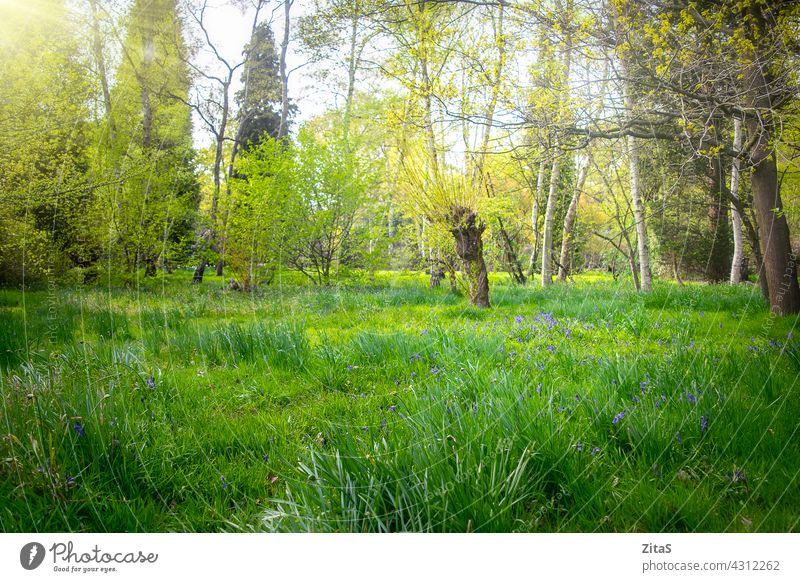 Sunny beautiful green forest with bluebells in the grass nature woods flower flowers spring summer pretty tree trees sunny fresh foliage leaves landscape