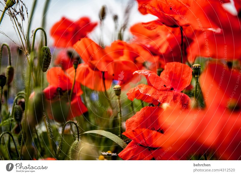 The Day After Poppy field Colour photo Green Contrast Spring Summer Exterior shot Red Plant Nature beautifully Splendid luminescent Poppy blossom Flower Blossom