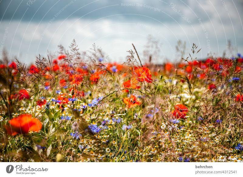 *2 2 0 0* jubilant mo(h)nday poppy flower blurriness Leaf Blossoming Beautiful weather pretty Meadow Garden pollen Splendid Summer luminescent Warmth