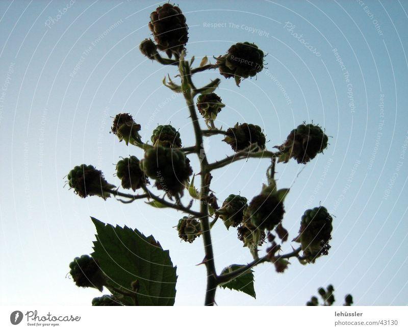 raspberry bush Bushes Thorn Leaf Back-light Sky Shadow Twig ...