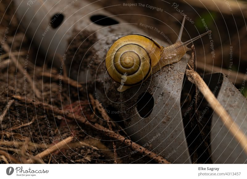 Black-mouthed ribbon snail/ Cepaea nemoralis Crumpet Snail shell Animal Feeler Close-up Exterior shot Small Shallow depth of field Deserted