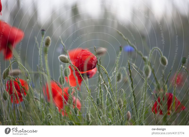 Poppy blossom at the edge of the field coming from Kremmen Field Nature Red Blur in the background Plant Flower Summer Exterior shot Blossom Colour photo