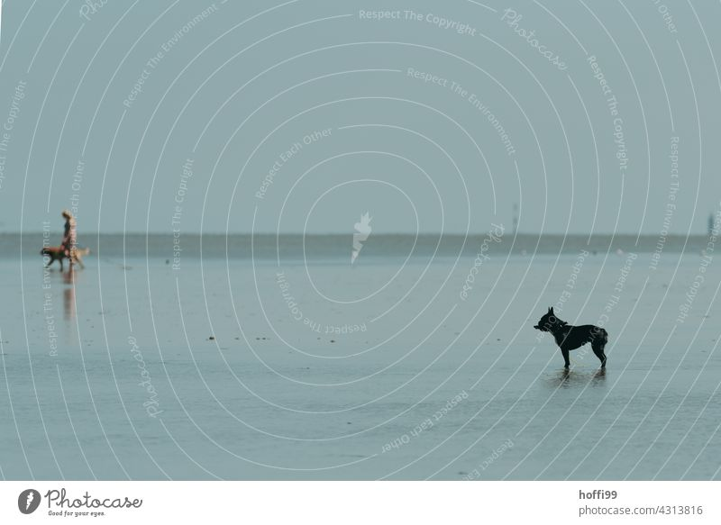 the dog stands on the mudflats when the water rises Mud flats Silhouette Dog Pelt Watchdog Watchfulness Wait North Sea coast Low tide Minimalistic minimalism