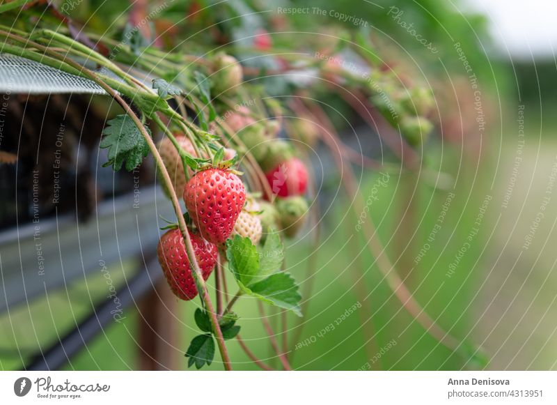 Strawberry picking in the farm strawberry harvesting farming grow field crop ripe summer garden plantation cultivation red fruit organic season fresh