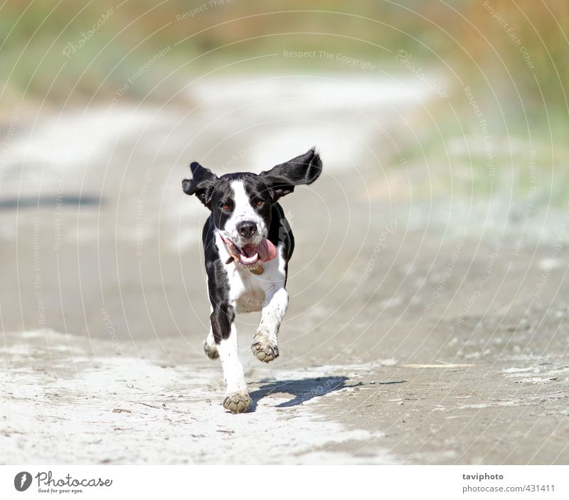 happy running dog Leisure and hobbies Nature Animal Sand Summer Beautiful weather Warmth Beach Pet Dog Animal face 1 Running Gray Black White Joy Happiness