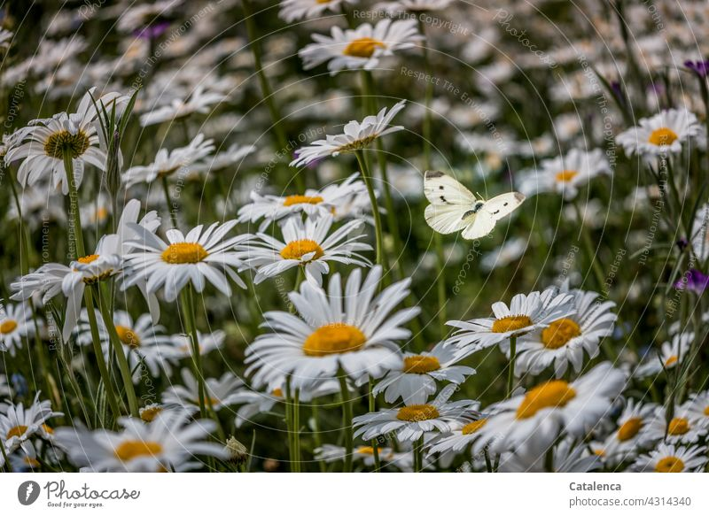 The cabbage white butterfly between the daisies is barely visible Nature flora fauna Insect Animal Butterfly pollinate with flies Flower margarite Meadow