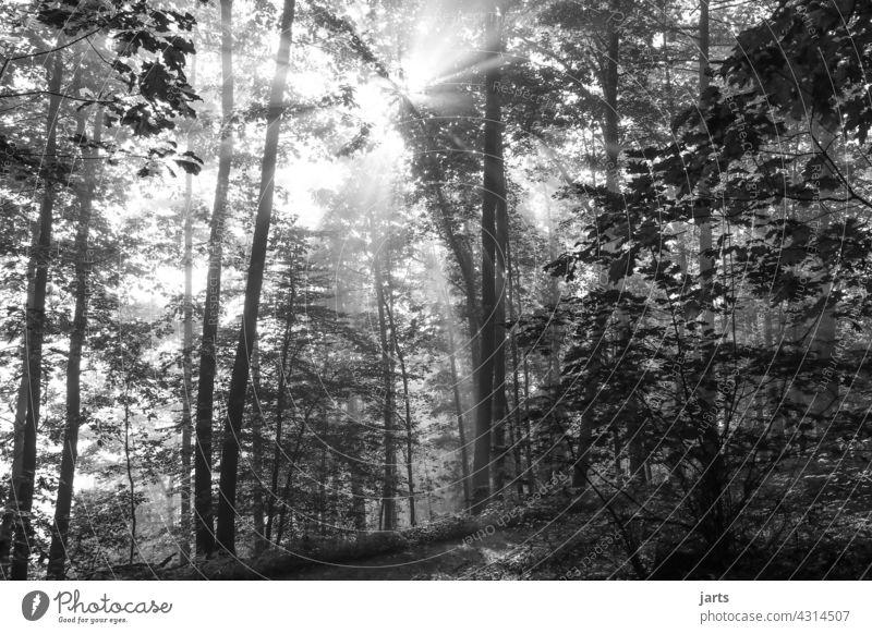 Sunrise sun stealers in the forest in black and white Sunbeam Black & white photo Forest Tree Nature Exterior shot Sunlight Light Landscape Back-light Deserted