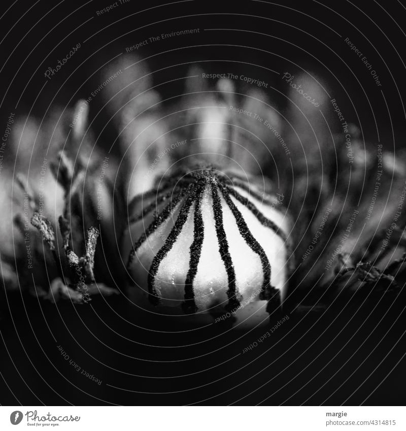 Mo(h)ntag, poppy blossom in black and white Flower Poppy Blossom Nature Poppy blossom Corn poppy Exterior shot Summer Macro (Extreme close-up) Detail Stamp