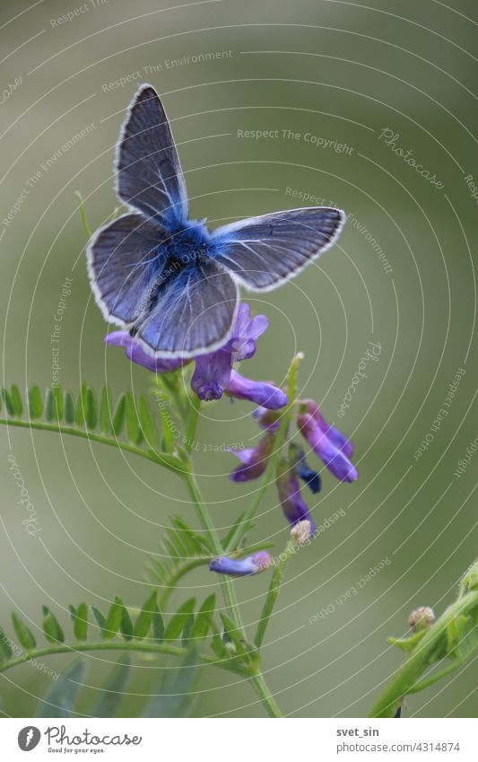 Polyommatus amandus, Amanda's Blue. A blue butterfly with spread wings is sitting on a purple flower of cow vetch. green nature insect close-up outdoors animal