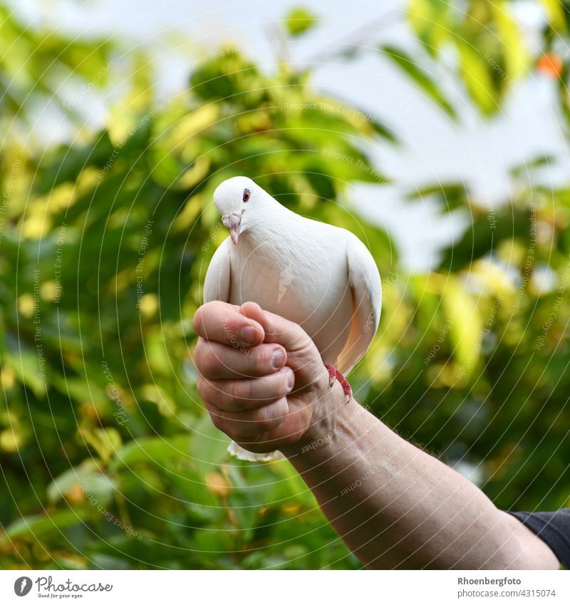 Lovingly bred white dove that trains daily for upcoming weddings. Pigeon White Bird birds Flying Grand piano Feather tree-green Wedding tame celebration