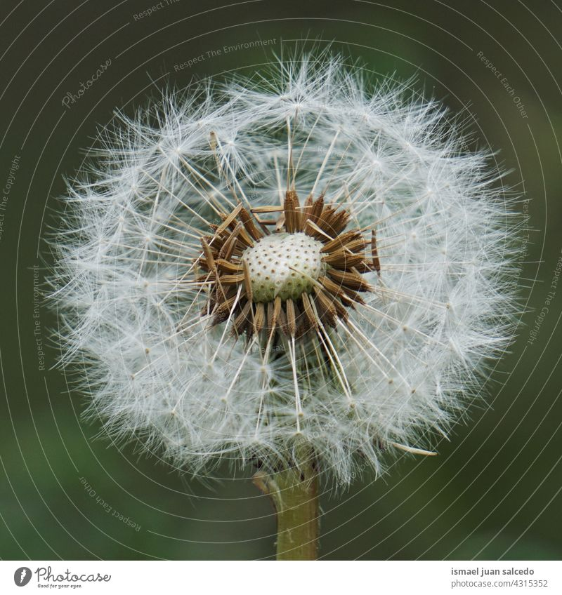 beautiful dandelion flower in springtime plant seed floral garden nature natural abstract textured soft softness background romantic fragility beauty autumn