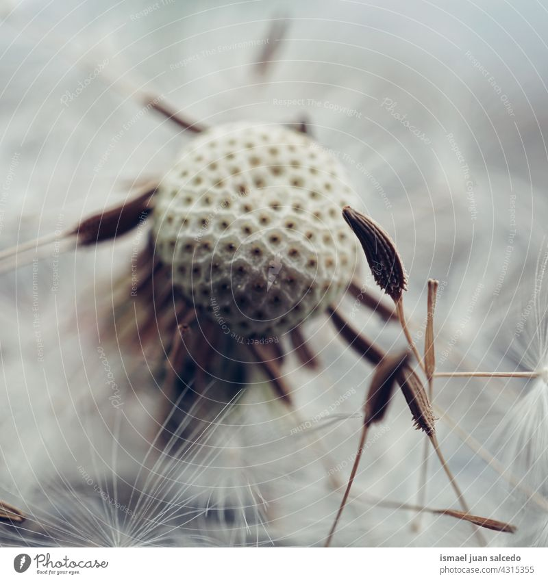 romantic dandelion flower seed in springtime plant floral garden nature natural beautiful abstract textured soft softness background fragility beauty autumn
