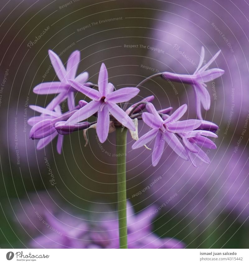 romantic pink purple flowers in the garden in springtime petals plant floral nature natural blossom decorative decoration beauty fragility background season