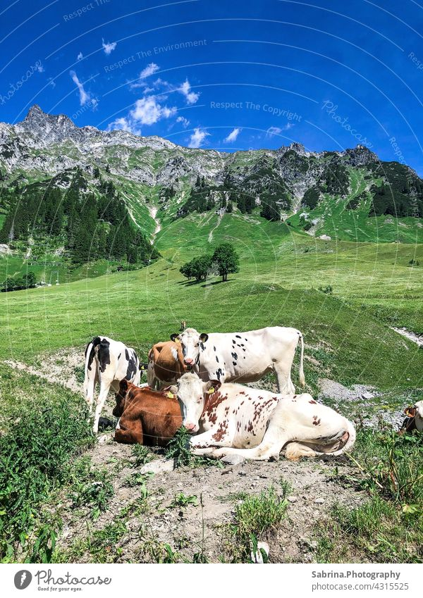 A group of cows on the way in nice weather in Stuben am Arlberg, Vorarlberg, Austria Nature Colour photo Mountain Federal State of Vorarlberg Landscape
