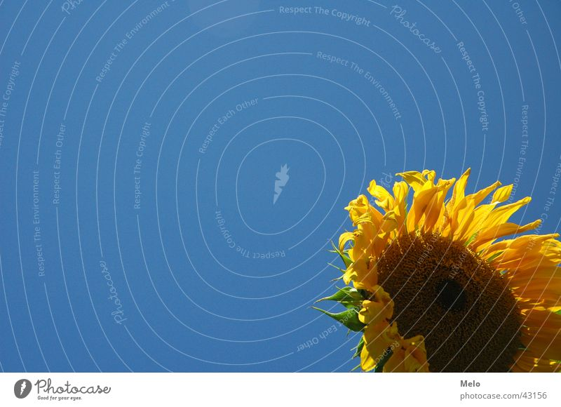 Sky Sun Blue Leaf Yellow Blossom Sunflower