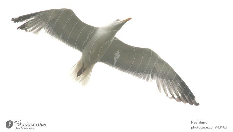 Sharp seagull Bird Span Beak Wing Movement Feather Sky in flight Flight of the birds