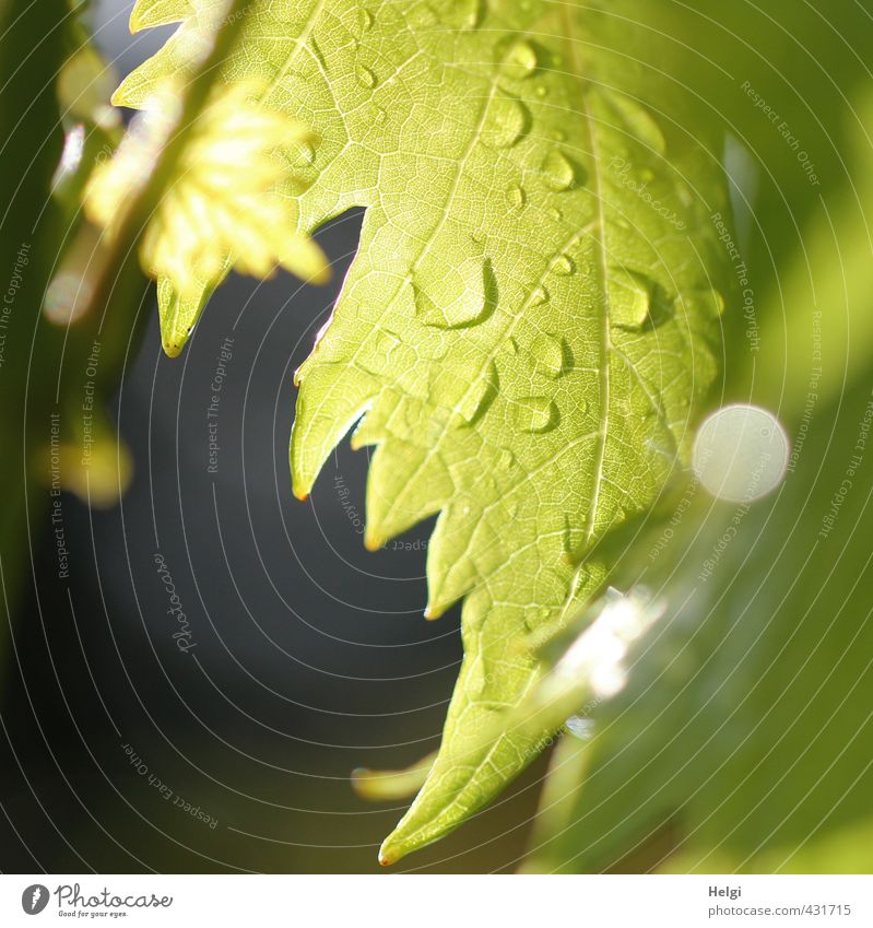 dripping wet... Environment Nature Plant Drops of water Summer Rain Leaf Agricultural crop Vine Vine leaf Rachis Garden Hang Illuminate Growth Esthetic