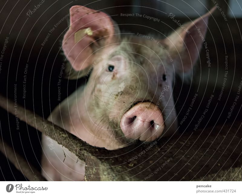 fun society   cost bearers Animal Farm animal Swine 1 Sign Cold Naked Luxury Environment Pig head Meat Captured Animal protection To feed Full Carnivore Happy