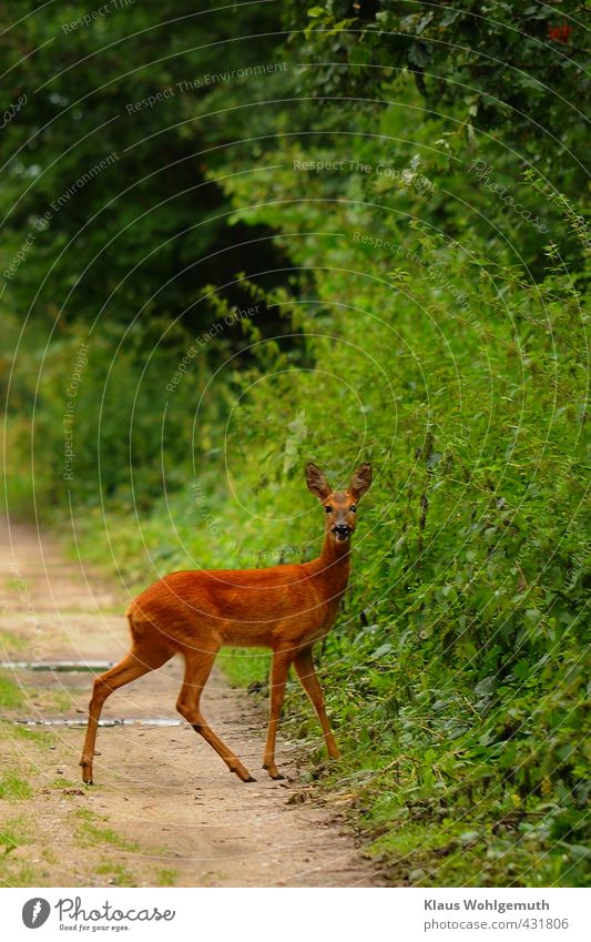 game pass Environment Nature Animal Summer Plant Wild plant Forest Wild animal Animal face Pelt Roe deer Female deer 1 Observe Going Walking Beautiful Feminine