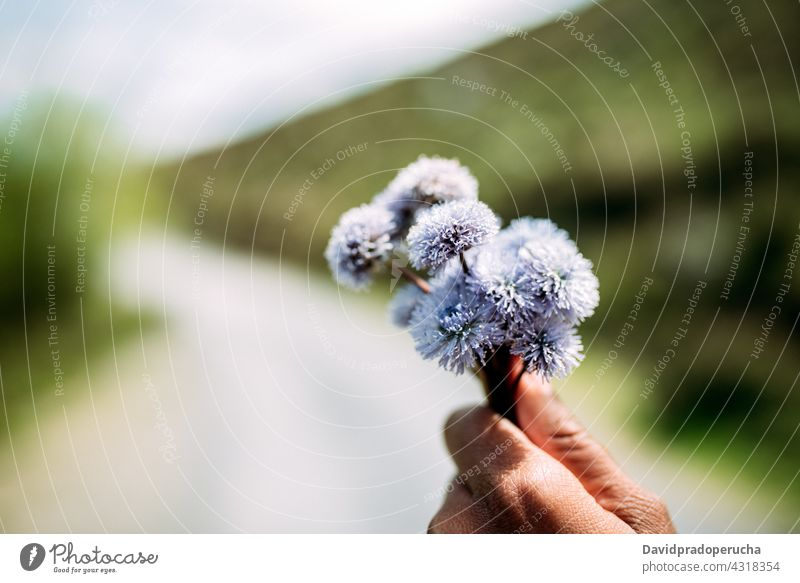 Person with bunch of blooming flowers person globularia trichosantha bud petal nature aroma plant fragrant aromatic floral blossom natural delicate growth