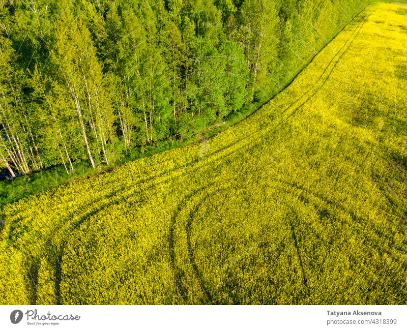 Field of rapeseed at summer field yellow plant oil agriculture flower canola oilseed rural farm sky green blossom crop landscape grow horizon farmland