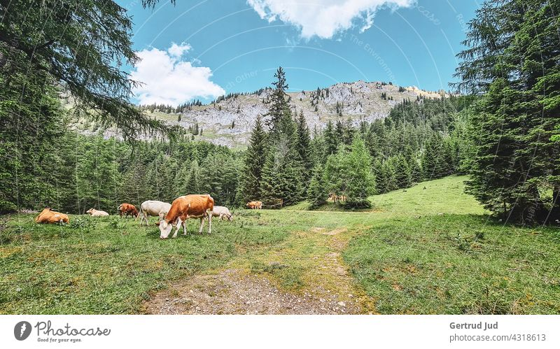 Cows on the alpine pasture Landscape Nature Animal Hiking Colour photo Exterior shot Environment Mountain Rock Alps Summer Beautiful weather Vacation & Travel