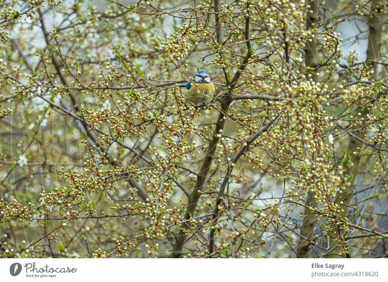 Blue tit in budding tree Blossom Tree Bird Nature Exterior shot Spring Deserted naturally Shallow depth of field