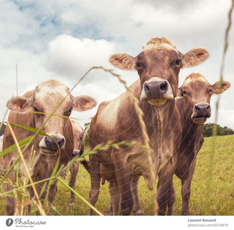 Aubrac cows in the nature France agriculture animal aubrac beef bovine cattle country farm farming farmland field heifer livestock pasture rural