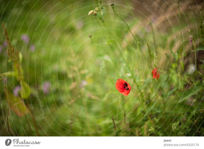 Simply because today is still Mo(h)ntag | red poppies on a wildflower meadow Poppy Flower Blossom two 2 Blossom leave blossoms heyday wild flower wild flowers