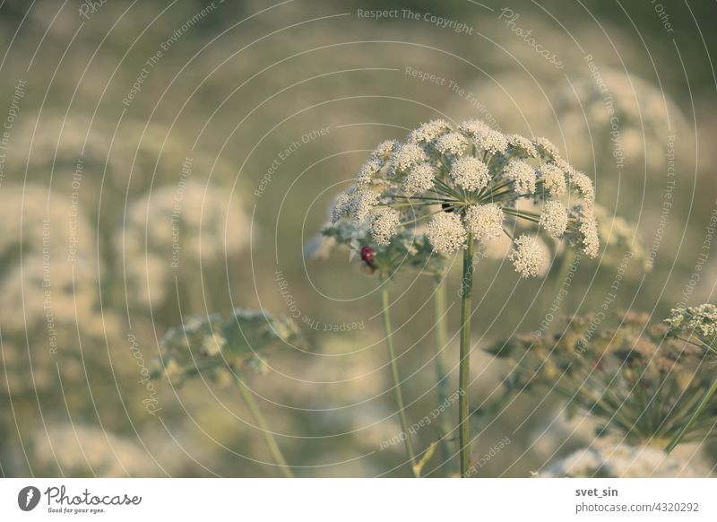 Seseli libanotis, Moon Carrot. Blooming white flowers on a green meadow on a summer sunny day. White cap of a flower of an umbrella plant in a meadow in sunlight.