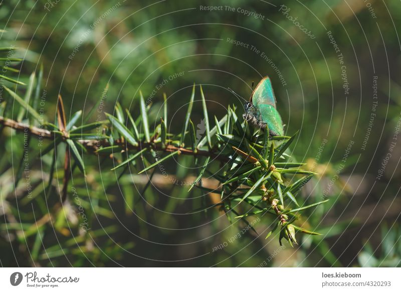 Tranquil springtime scene with green hairstreak butterfly in a evergreen forest on a juniper bush, Tirol, Austria callophrys rubi nature animal lycaenidae