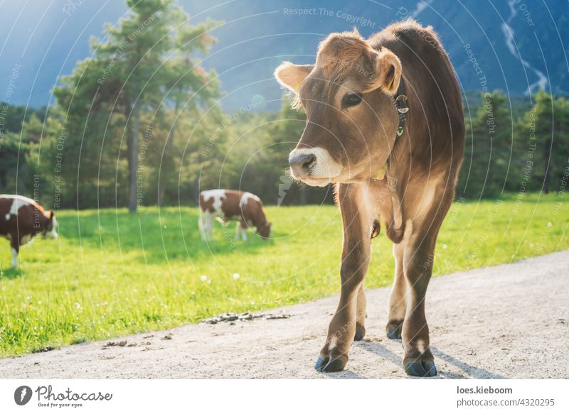 Cute sunlit calf on an alpine pasture meadow with grazing cows in the mountains, Mieming, Tirol, Austria brown cattle animal baby nature farm alps cute beef