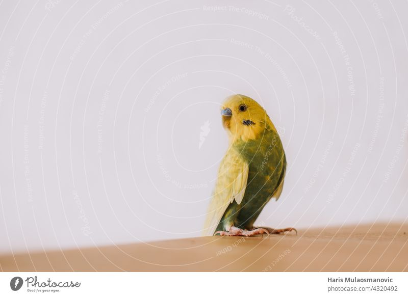 Cute little parakeet budgie at home animal baby background beak beautiful bird birds flying born breed budgerigar care chick closeup cute easter feather fluffy