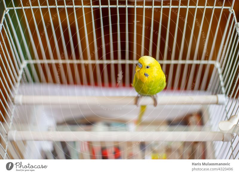 Parakeet budgie standing on the perch in his cage animal baby background beak beautiful bird bird cage birds flying born breed budgerigar cage fighting care