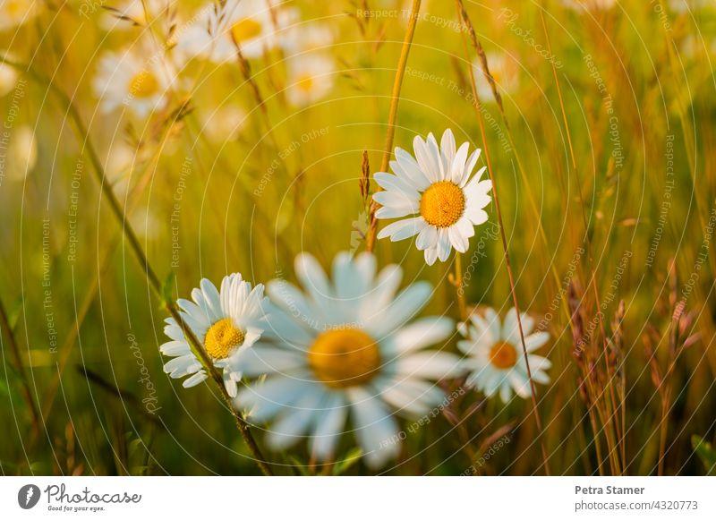 daisies Marguerite White Yellow Blossom Flower Blossoming Plant Summer grasses Deserted nobody