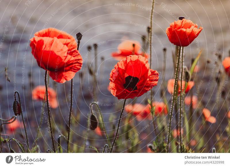 Poppy / Corn Poppy / Papaver rhoeas Corn poppy Poppy blossom Red Blossoming Summer pretty wild flowers Environment Environmental protection Poppy Love insects