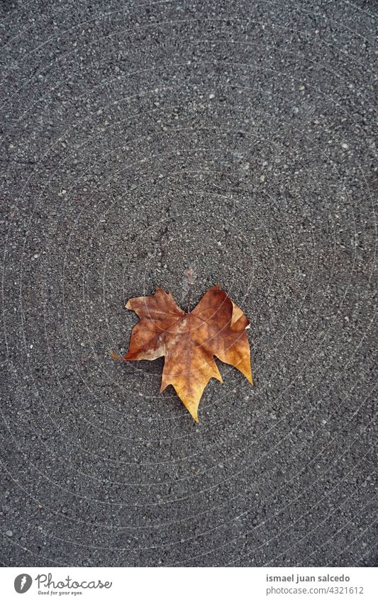 brown maple leaf on the ground in autumn season dry nature natural foliage textured outdoors background autumn mood autumn leaves autumn colors fall