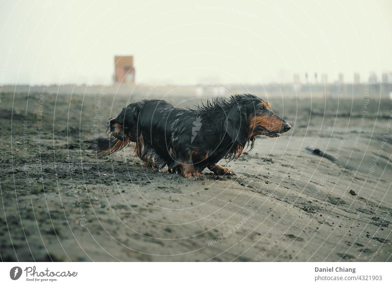 Dog Playing On The Beach dog pet beach wet exciting feeling moment Pet Animal Exterior shot Wet Animal portrait Day Sand Coast look ahead Ocean