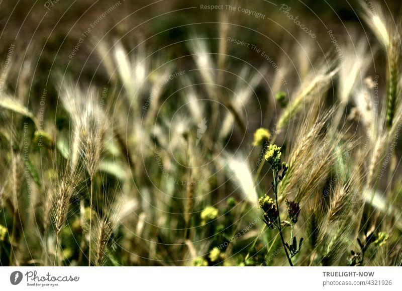 Ear dance in the light. Heat of a summer day. Farewell already to the green. Ear of corn Mature Dry Wild Sámen Grass Blossom Summer ardor Light Sunlight Shadow