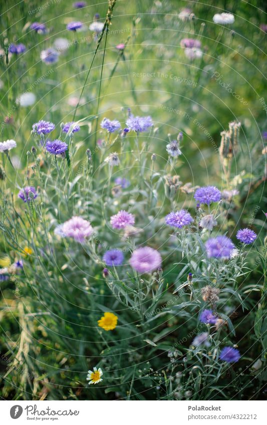 #A# Blue flowers Flower meadow Flowerbed wild flower wild flowers Nature Blossom Summer Meadow Plant naturally Wild plant Blossoming