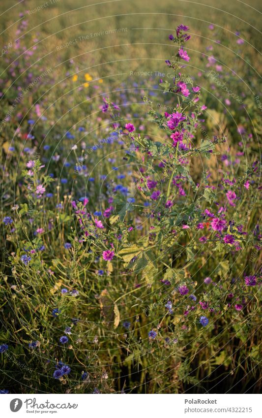 #A# Purple flowers Flower meadow Flowerbed wild flower wild flowers Nature Blossom Summer Meadow Plant naturally Wild plant Blossoming Field field flora