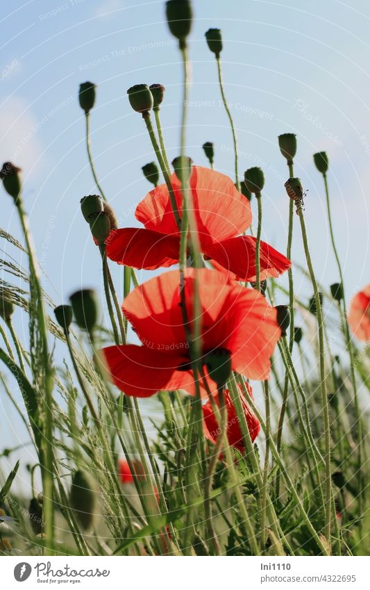 Corn poppy flowers and capsule fruits Papaver rhoeas Wild plant Herbacious yearlong biennial undemanding blossoms petals bright red Capsule Seed capsule acre