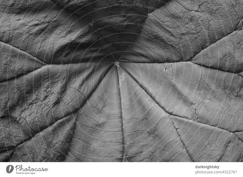 Large leaf with veins in detail as a solid background for nature shots and organic themes Leaf freshness huge green grey Give gift Lettuce Nutrition Petasites