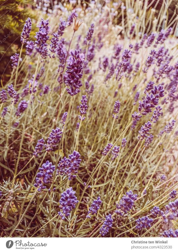 fragrant lavender on a sunny day in summer Lavender purple Summer Nature Violet Fragrance Summery Blossoming Garden plants Plant blurriness Summer feeling