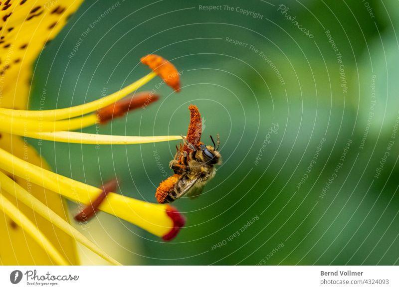 Bee on lily bee Lilium Pollen flower pollen Bee collects pollen